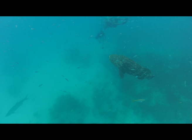 Look closely, you can see Don, a shark, and the huge Goliath Grouper...Lots of activity in the water today!